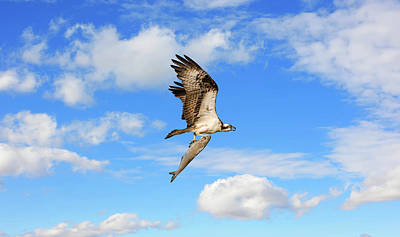 Comic Character Paintings - Osprey flying with a large fish in talons in the clouds by Patrick Wolf