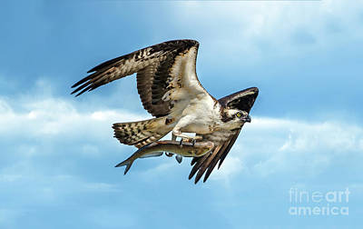 Photograph - Osprey Flying With Large Fish In Talons by Patrick Wolf