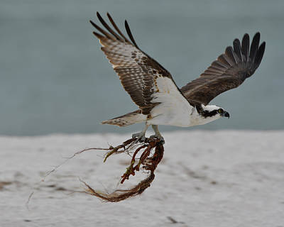 Osprey Photograph - Osprey Flying With Seaweed by Artful Imagery