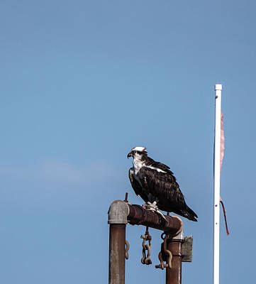 Photograph - Osprey Having Lunch by Paul Ross