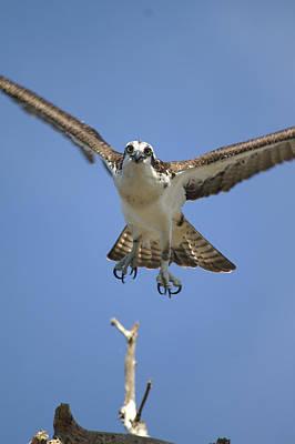 Jac Photograph - Osprey Head On by Jack Norton