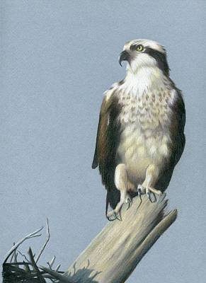 Osprey Drawing - Osprey by Heather Mitchell