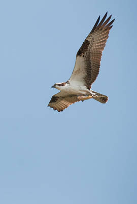 Photograph - Osprey Here Comes Dinner by David Waldrop
