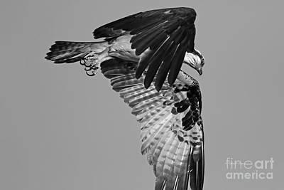 Photograph - Osprey Hunting by Deborah Benoit