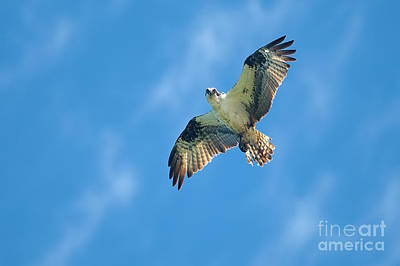 Photograph - Osprey Hunting by Sharon Talson