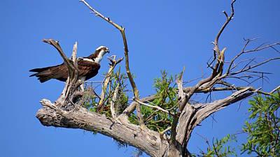 Photograph - Osprey In Bald Cypress Tree by Carol Bradley