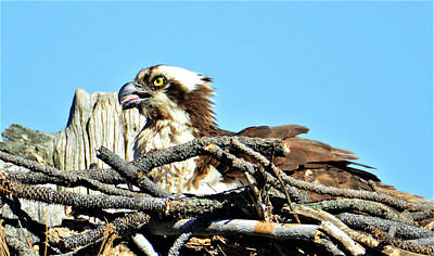 Photograph - Osprey In Bend Oregon by Kathy Kelly