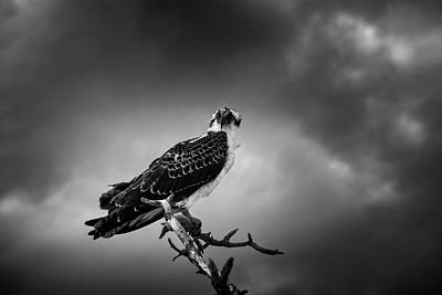 Photograph - Osprey In Black And White by Chrystal Mimbs