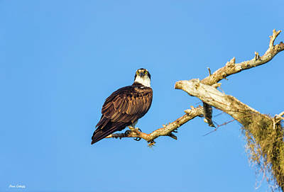 Photograph - Osprey In Cypress Tree by Fran Gallogly