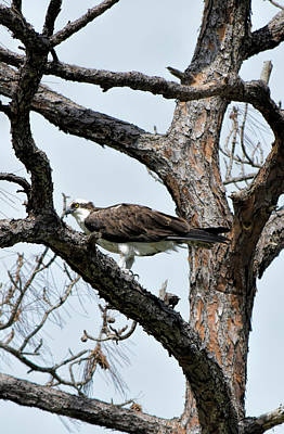 Photograph - Osprey In Dying Pine by William Tasker