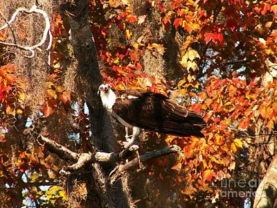 Osprey In Fall Print by Theresa Willingham