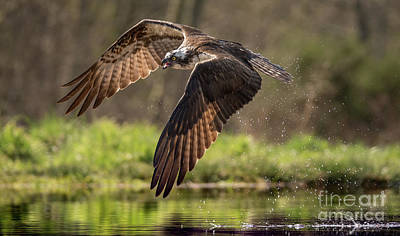 Photograph - Osprey In Fleight by Keith Thorburn LRPS