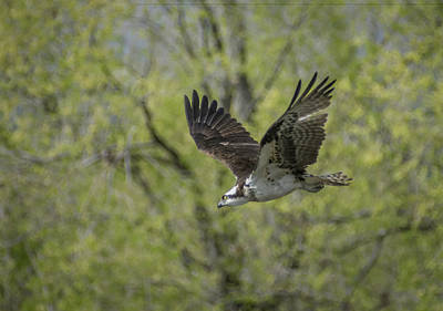 Photograph - Osprey In Flight 1 by Rick Mosher