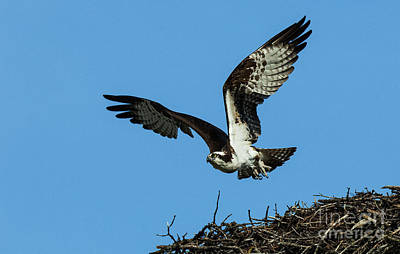 Photograph - Osprey In Flight 2 by Bob Christopher