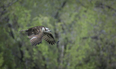 Photograph - Osprey In Flight 2 by Rick Mosher