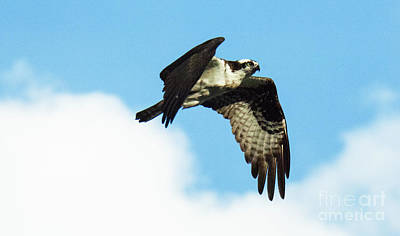 Photograph - Osprey In Flight 3 by Bob Christopher