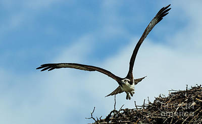 Photograph - Osprey In Flight by Bob Christopher