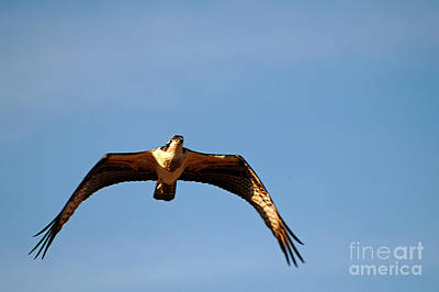 Photograph - Osprey In Flight by Clayton Bruster