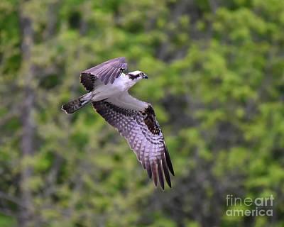 Photograph - Osprey In Flight by Cynthia Staley