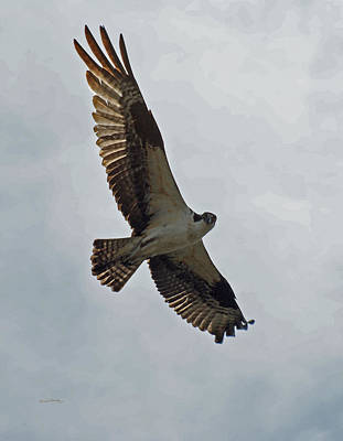 Osprey Photograph - Osprey In Flight by Ernie Echols