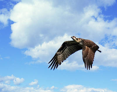 Photograph - Osprey In Flight I by Dawn Currie