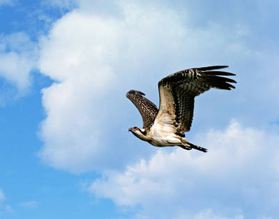 Photograph - Osprey In Flight II by Dawn Currie