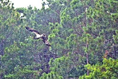 Photograph - Osprey In Flight by James Potts
