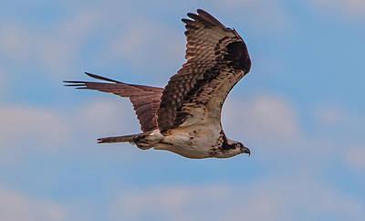 Photograph - Osprey In Flight by Marc Crumpler