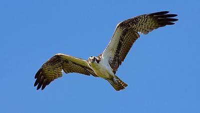 Deer On Beach Photograph - Osprey In Flight by Mark Reinnoldt