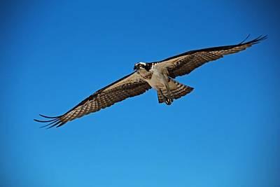 Photograph - Osprey In Flight by Michiale Schneider