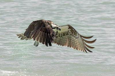 Photograph - Osprey In Flight by Phil Stone