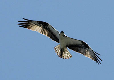 Photograph - Osprey In Flight by Robert Banach