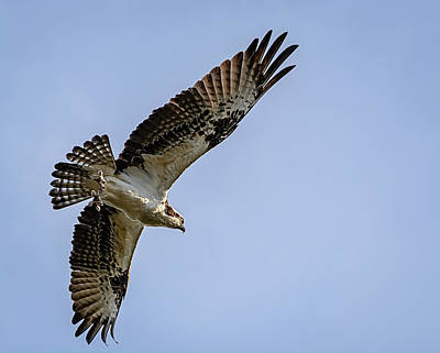 Photograph - Osprey In Flight by Robert Mitchell