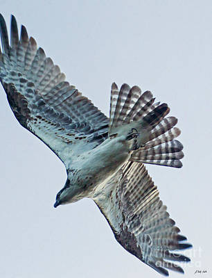 Photograph - Osprey In Flight-signed-#4015 by J L Woody Wooden