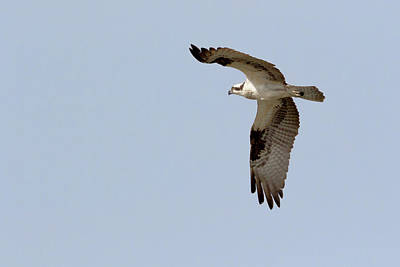 Photograph - Osprey In Flight by Susan Rissi Tregoning