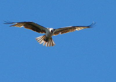 Photograph - Osprey In Flight by T Guy Spencer