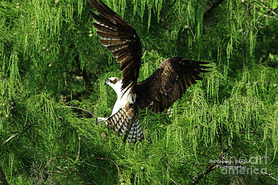 Photograph - Osprey In Landing Mode by Deborah Benoit