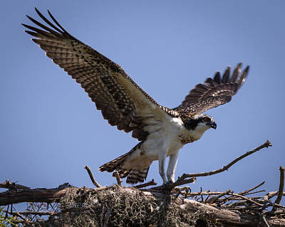 Photograph - Osprey In Nest 1 by Gregory Daley  PPSA