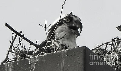 Osprey In Nest Art Print