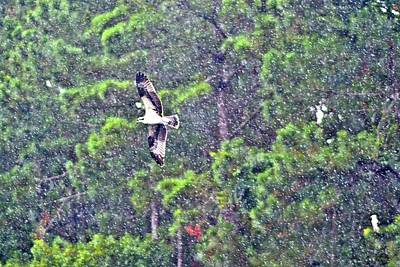 Photograph - Osprey In Rain by James Potts