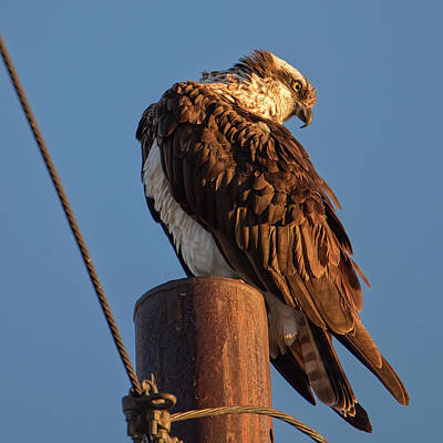 Photograph - Osprey In The Desert by Dan McManus