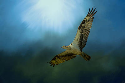 Osprey In The Evening Light Print by Jai Johnson