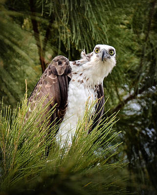 Osprey Photograph - Osprey In The Pine by Kerry Hauser