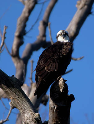 Photograph - Osprey In Tree 2017 by Buddy Scott