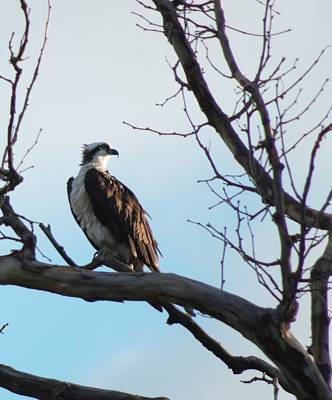 Photograph - Osprey In Tree by Buddy Scott