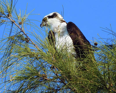 Photograph - Osprey In Tree by Robb Stan