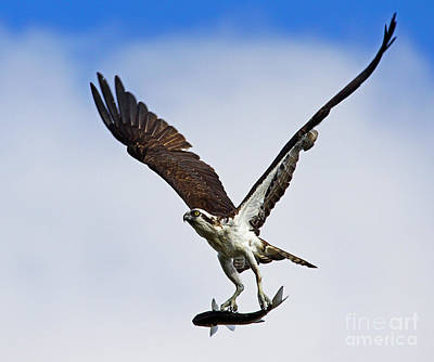 Photograph - Osprey Incoming Mullet by Larry Nieland