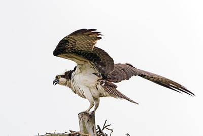 American Milestones - Osprey by Ira Marcus