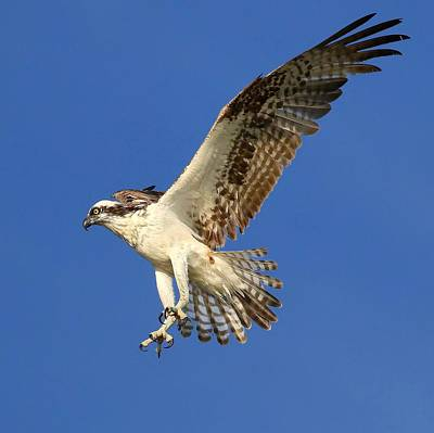 Osprey Original by John Absher