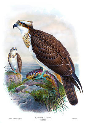 Osprey Drawing - Osprey Antique Bird Print Joseph Wolf Hc Richter Birds Of Great Britain  by Orchard Arts